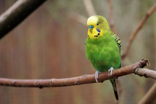 Muhabbet Kuşu Hakkinda Ilginç Bilgilerbilinmeyenler